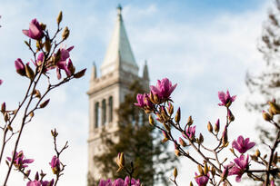 Magnolia flowers in the foreground, the Campanile in the background